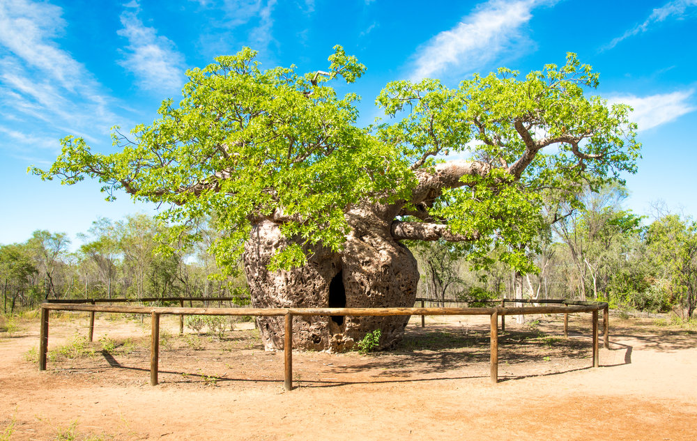 A Boab prison tree