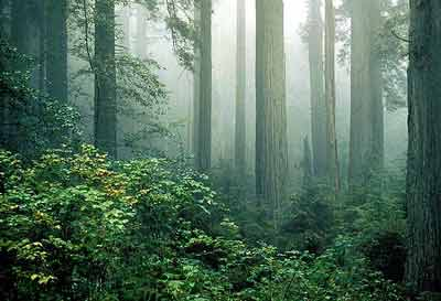 redwood-national-park-forest-fog.jpg