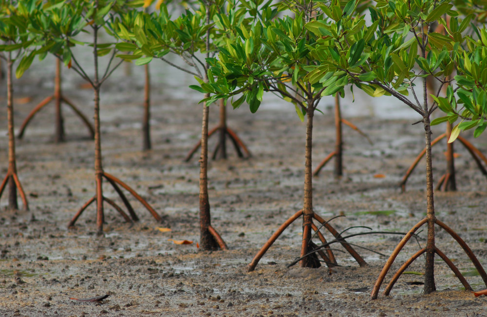 Mangroves-replanted-Saloum-Senegal-Jeff-Barbee-2007-e1452163527195.jpg