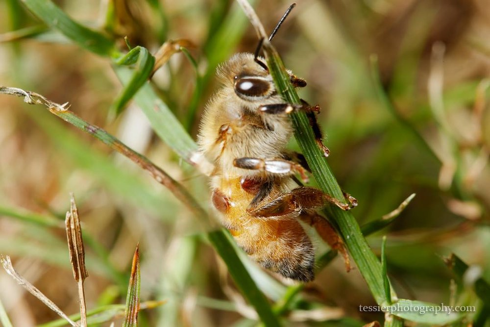 This photo by Amy Tessier shows varroa mites on a honey bee.