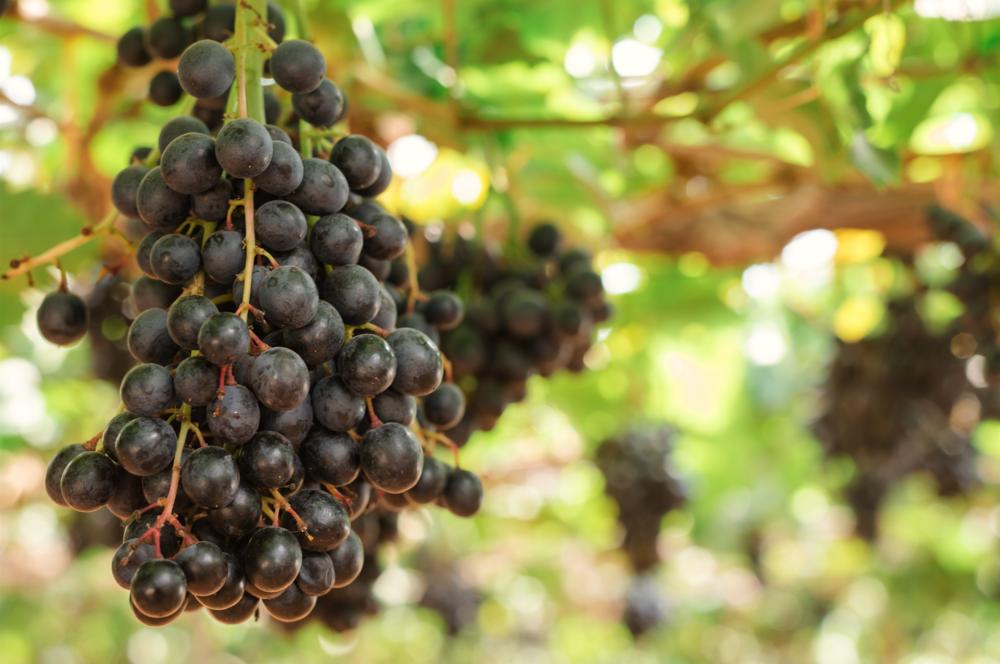 Nero Grapes.png