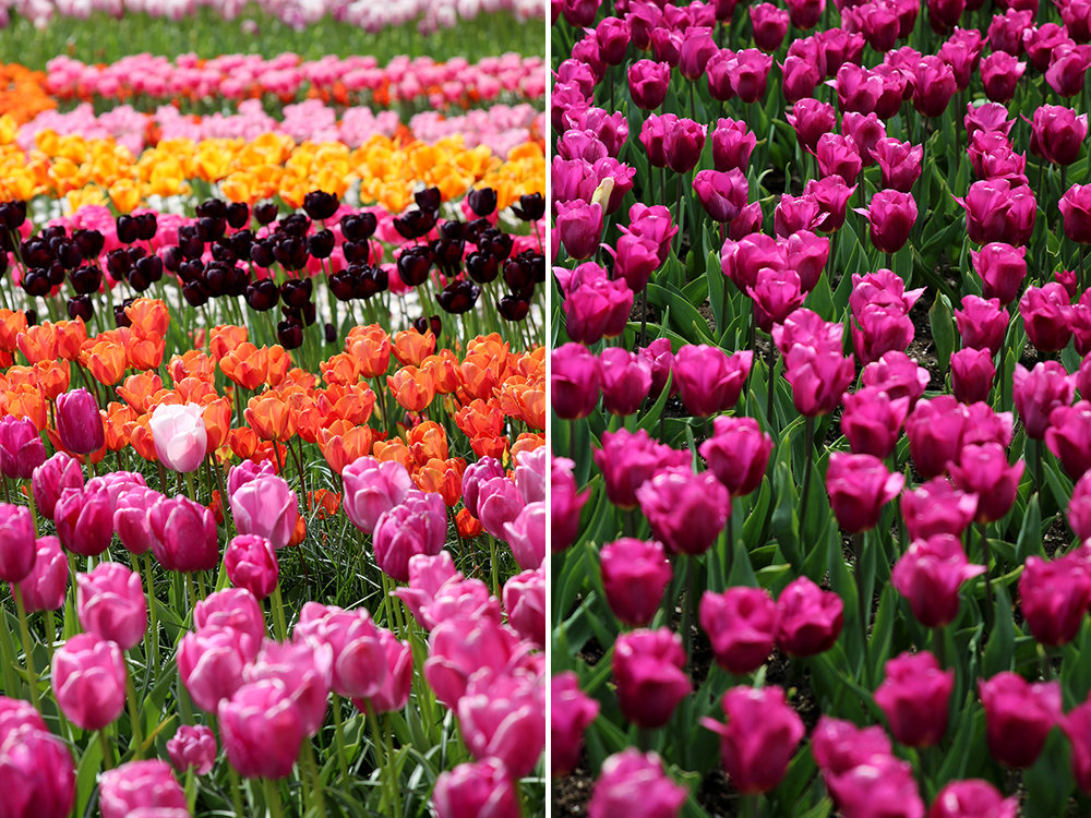 Tulipmania in Amsterdam