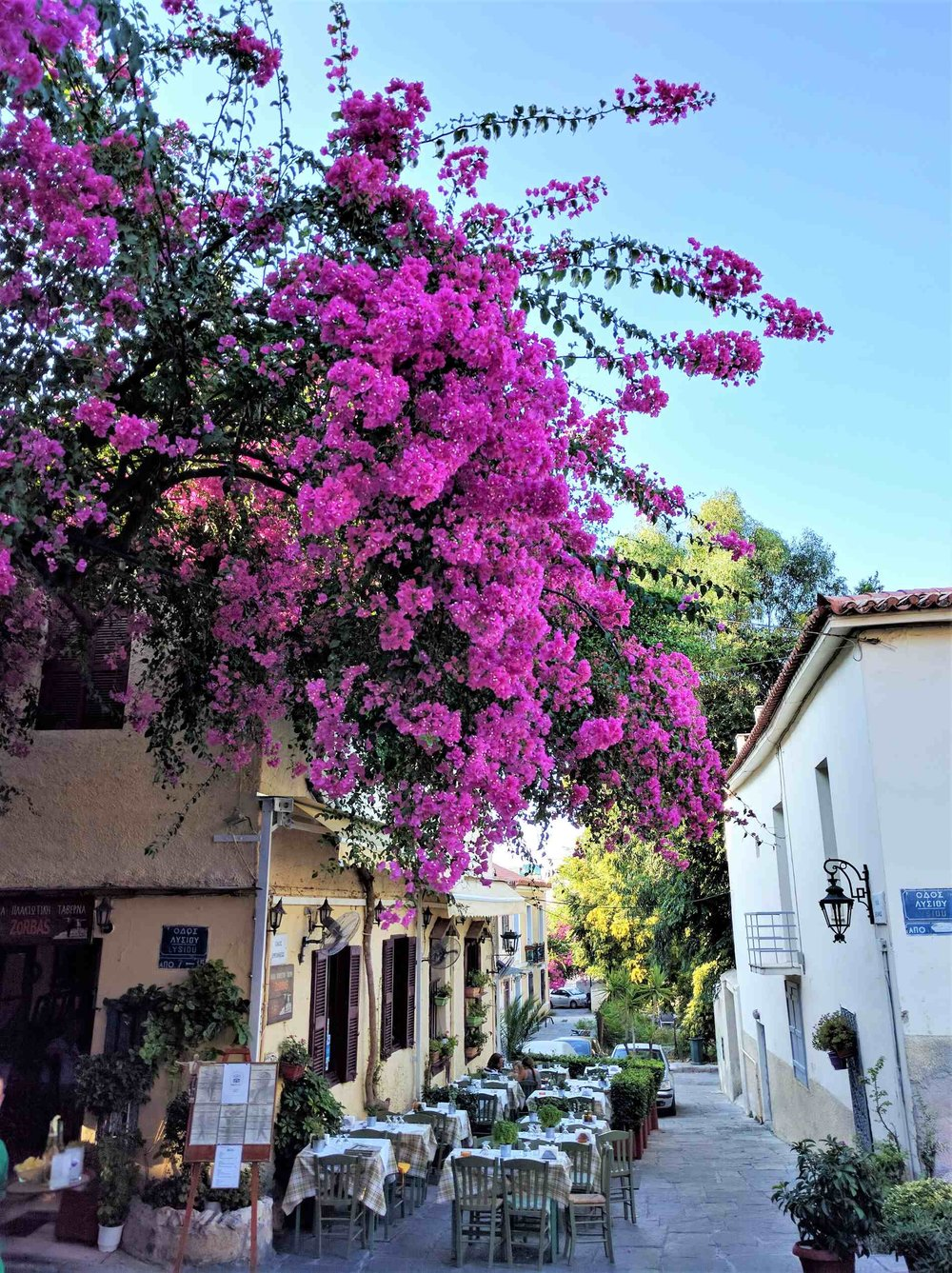 A vibrant bougainvillea in front of  Melina  cafe.