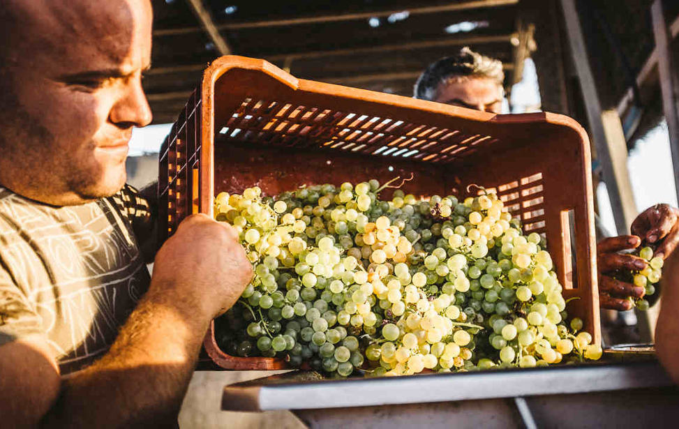 Organic farming in  Hatzidakis Winery , Santorini. Source: Hatzidakis Winery