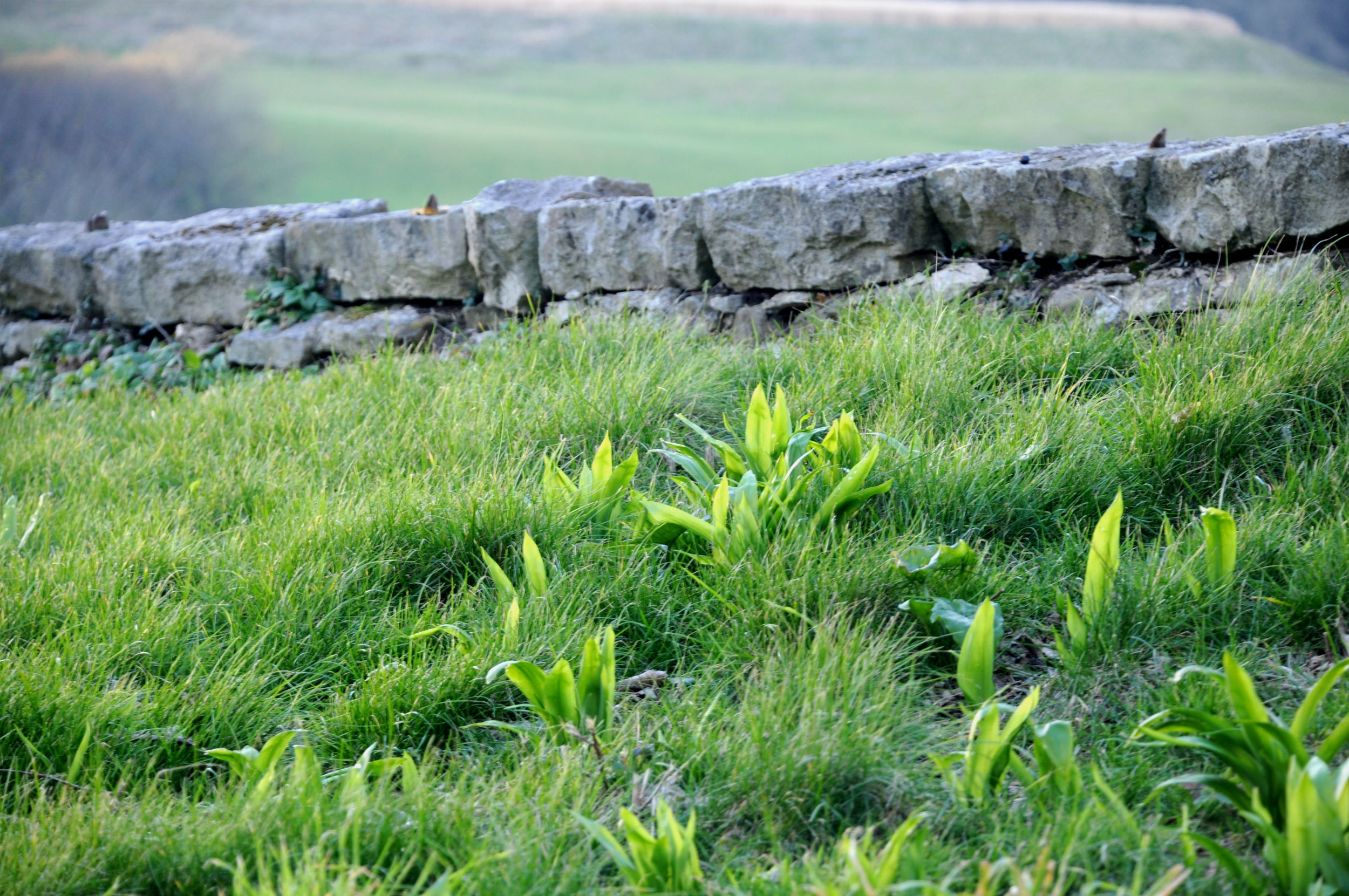 Wild garlic growing on the Isle of Purbeck