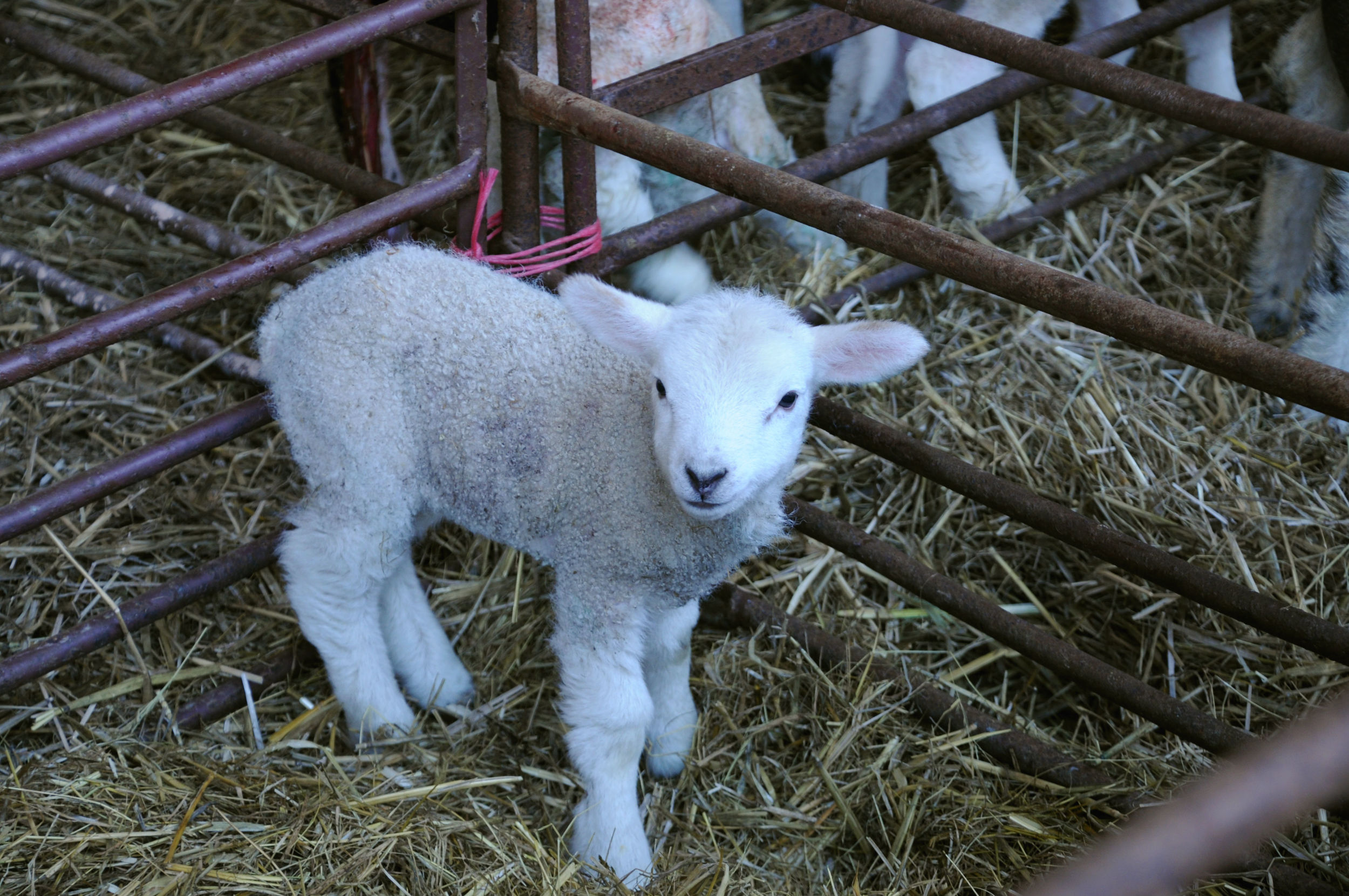 Lamb, just a few hours old