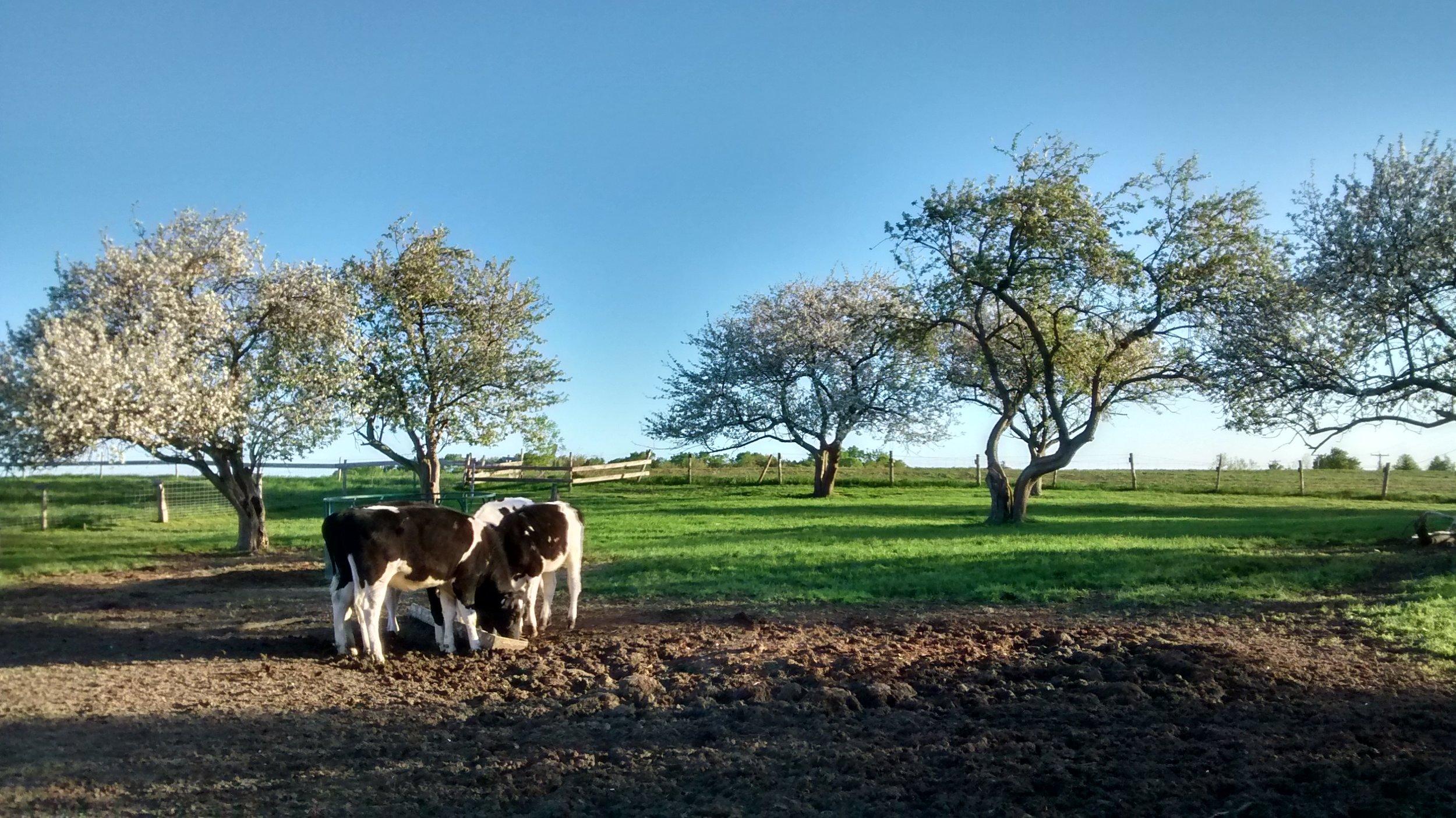 ''Nos vaches, on les traite comme des animaux''