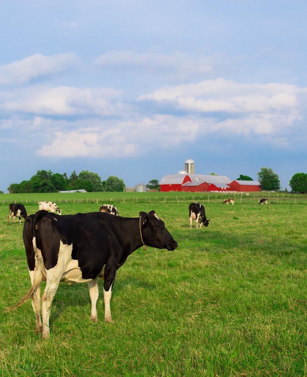 vache-a-marc.jpg
