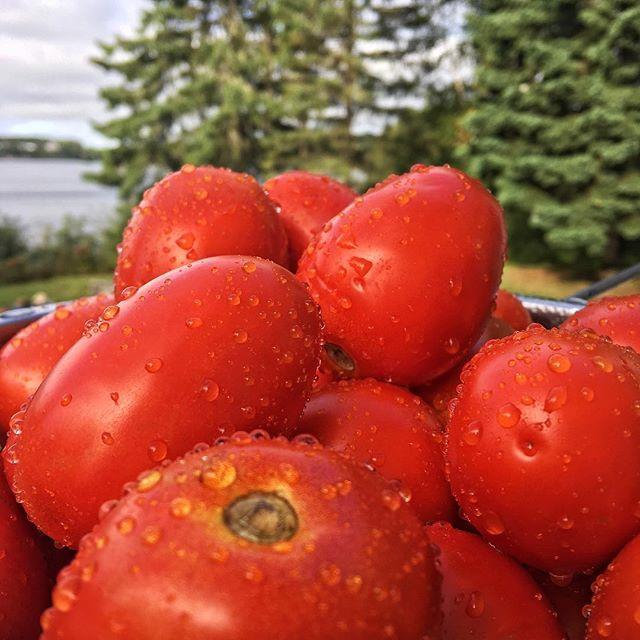 Que faites-vous comme recette avec vos surplus de tomates 🍅 . . . #agqc #mangezquebec #tomates #tomatesitaliennes #saisondesrecoltes #agrimom #recettesanté #fraicheur
