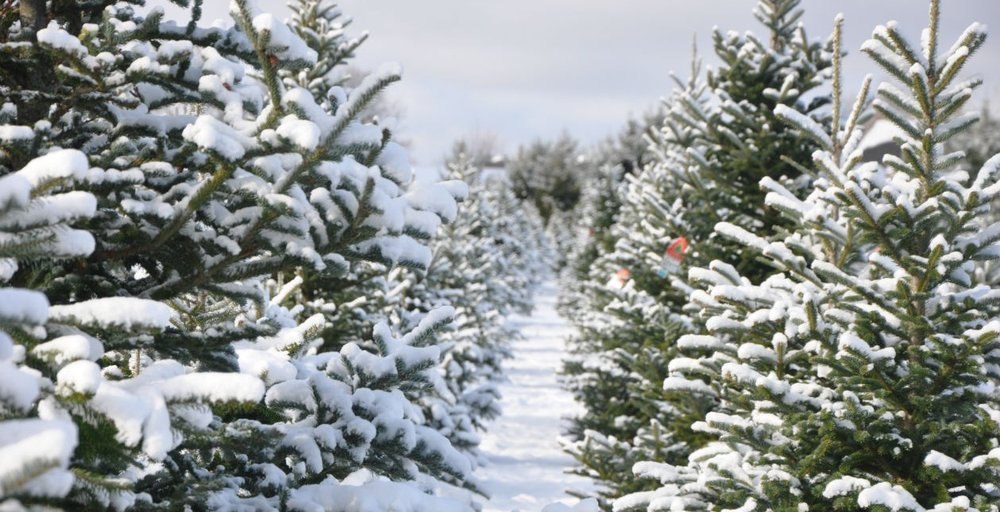 snowytreefield_1259_645.jpg - About CCTF €� Candy Cane CHRISTmas Tree Farm