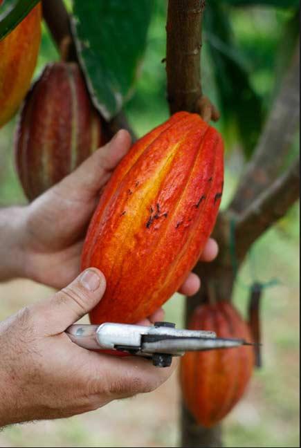 cacao6.jpg