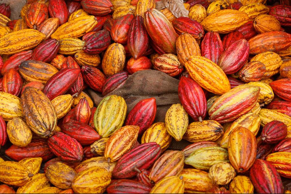 cacao.pods.jpg