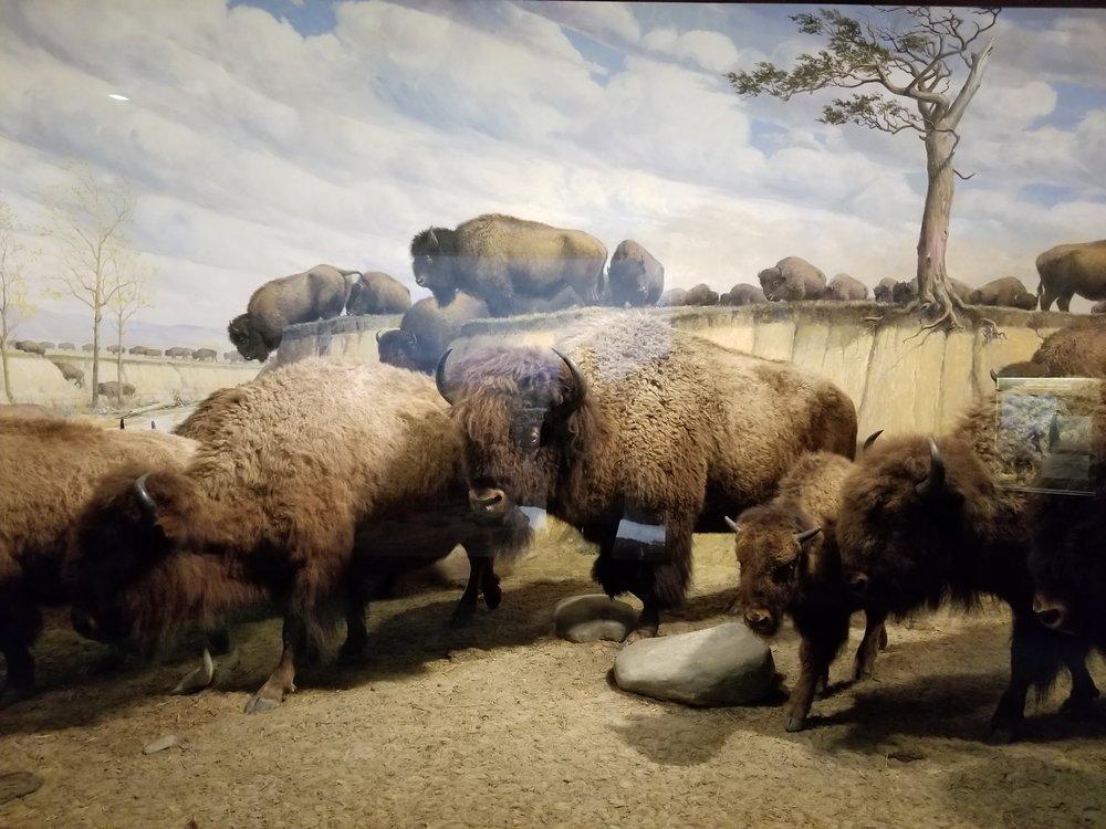 Bison are some of my favorite animals. They are at once tragic and majestic.