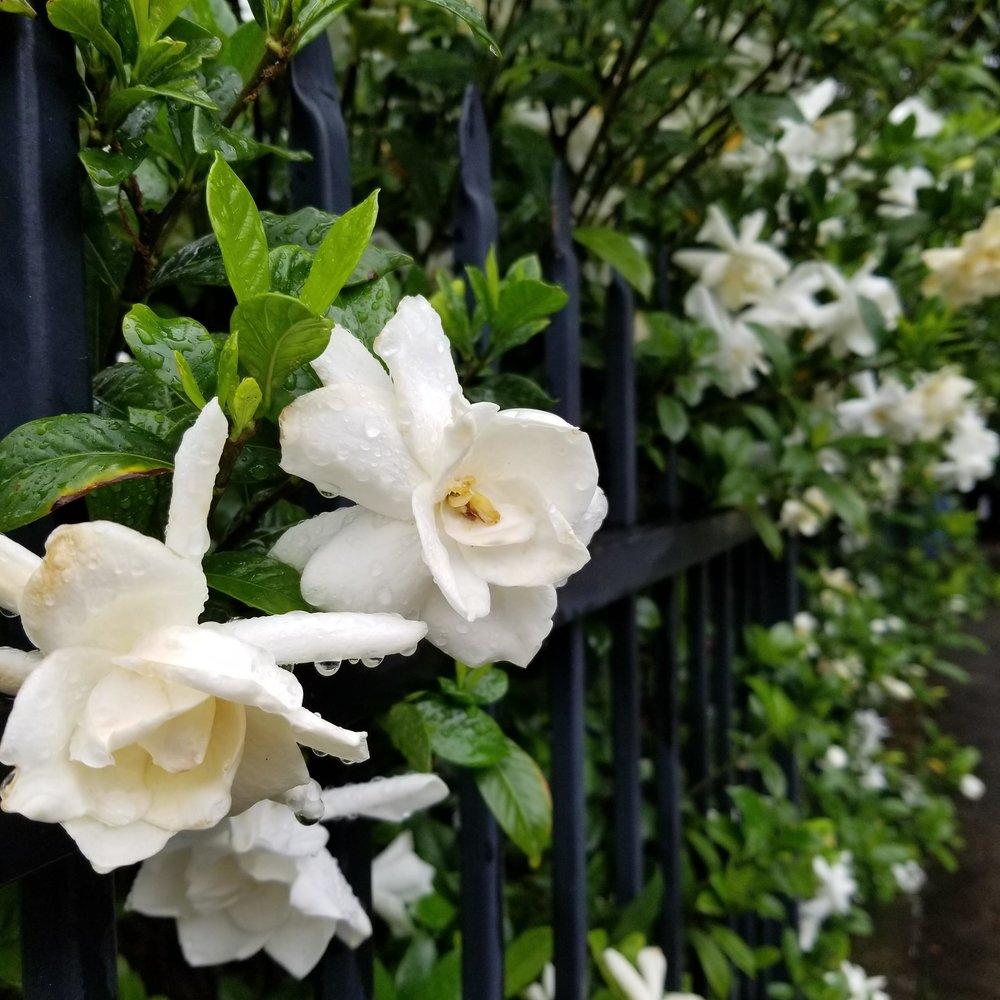 My favorite gardenia bush on my way to work.