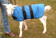 Phantom the goat in a goat-coat. Please do yourself a favor and visit  goatcoatshop.com  post-haste.