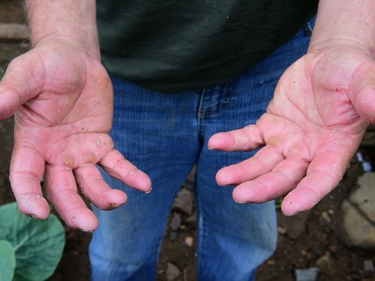 The hands of Konstantinos Natsis, Weehawken farmer. Photo: Tariq Zehawi/NorthJersey.com