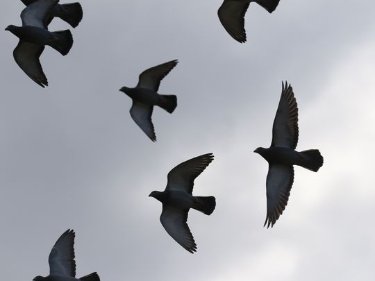 Torre's pigeons fly away.  Photo: Chris Pedota/NorthJersey.com