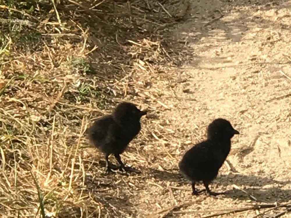 02.16.19 Baby wekas are very cute. They turn into toe-pecking brown chicken-like critters.