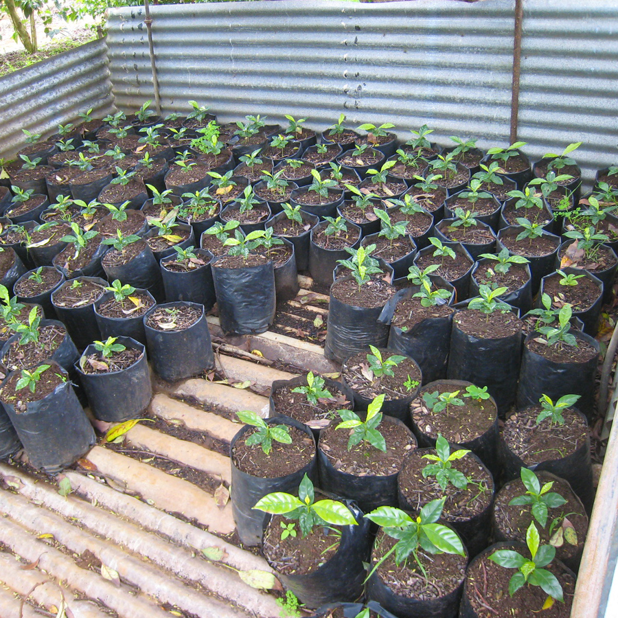 A coffee Nursery