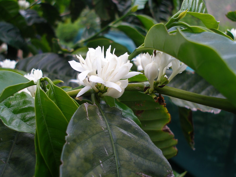 St Helena Coffee Flower.jpg