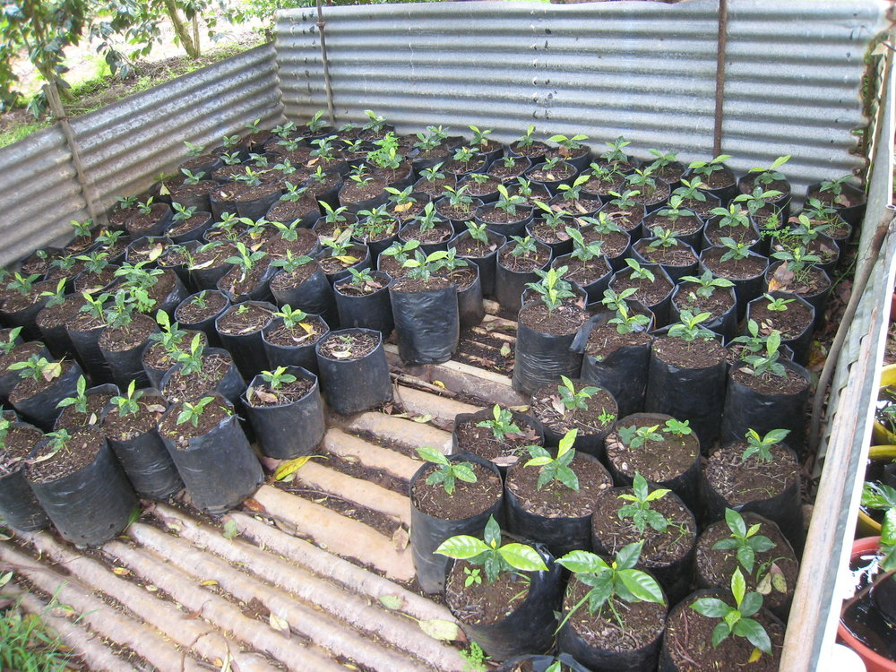 St Helena Coffee Nursery 2.jpg
