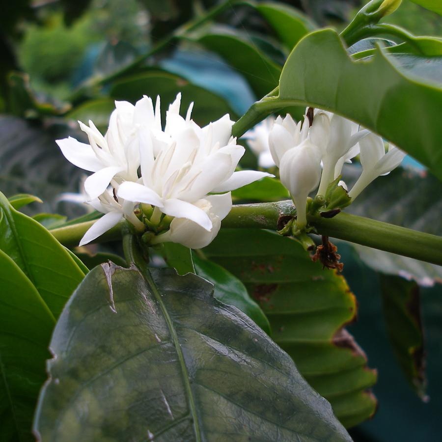 St-Helena-Coffee-Flower-borbon.jpg