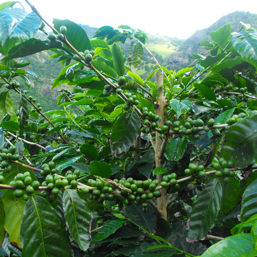 St-Helena-Coffee-Trees-1.jpg