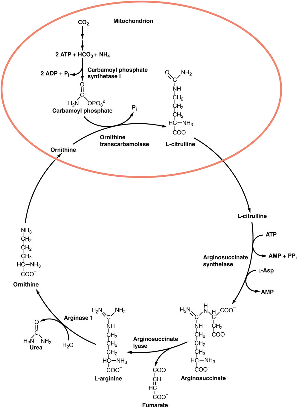 2518_Urea_Cycle.jpg