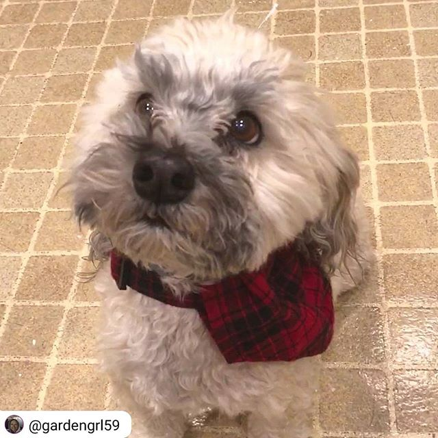 Dog Pack wear makes a pawsome 🎁 gift for any floof! ❤Cocoa can agree!! . Repost from @gardengrl59 ❤❤ . I'm all redeee for Santa! Thank you Hank, Widgeon and Dog Pack Collars of Bend Oregon. Who can resist my cute appearance in my new flannel bandanna! . . #cutie #giftideas #holidaygifts #handmadeholiday #dogwear #dogfashion #fancydog #handmadedogwear #dogcollar #dogcollars #dogbandana #dogbandanas #floof #dogmom #🎁 #holidaydog #holiday