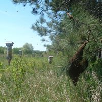 Swarm on pine.jpg