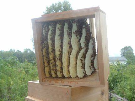 Comb built in the top box of a Warre hive