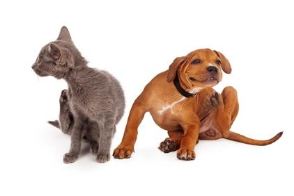 Kat en hond met vlooien
