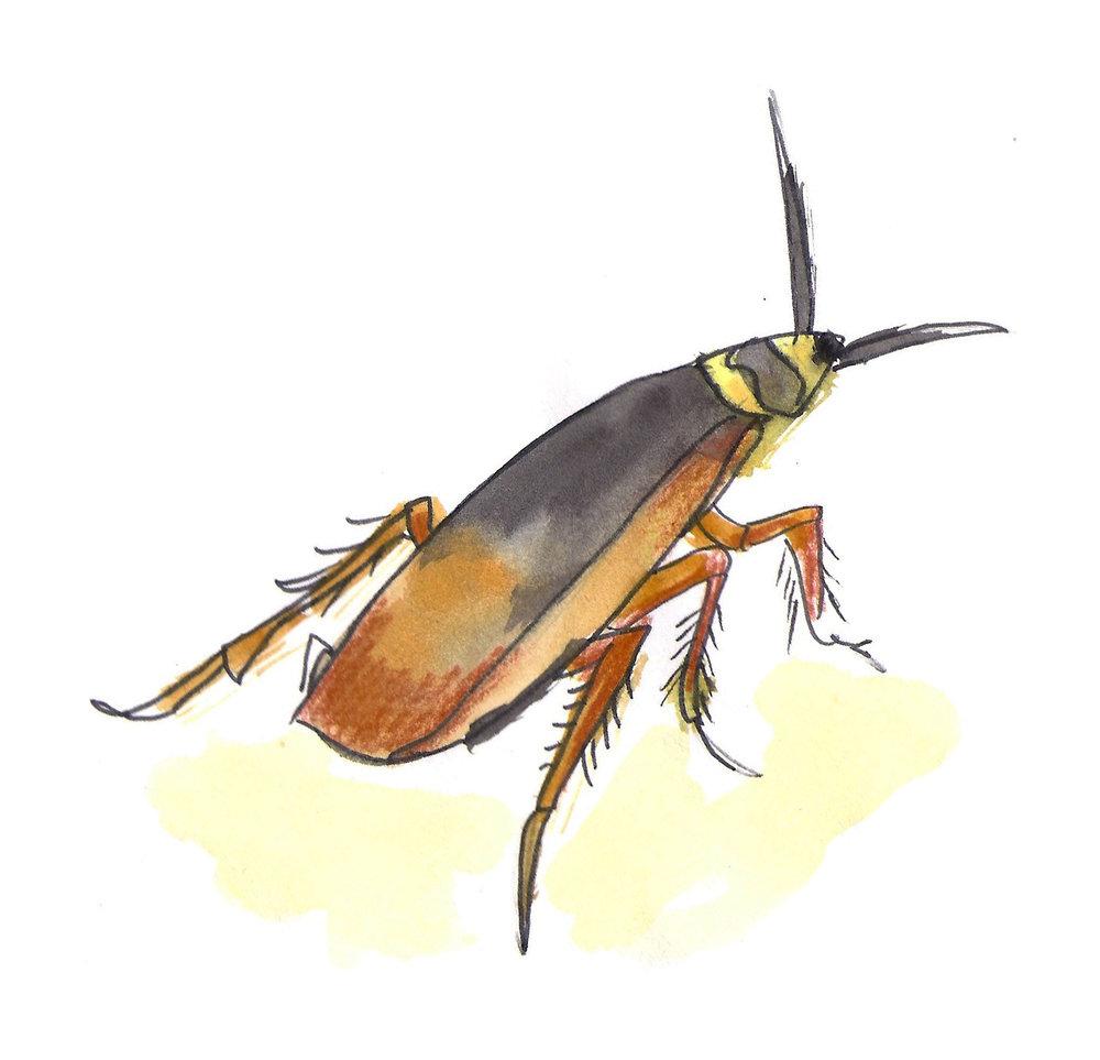 Bruinband kakkerlak