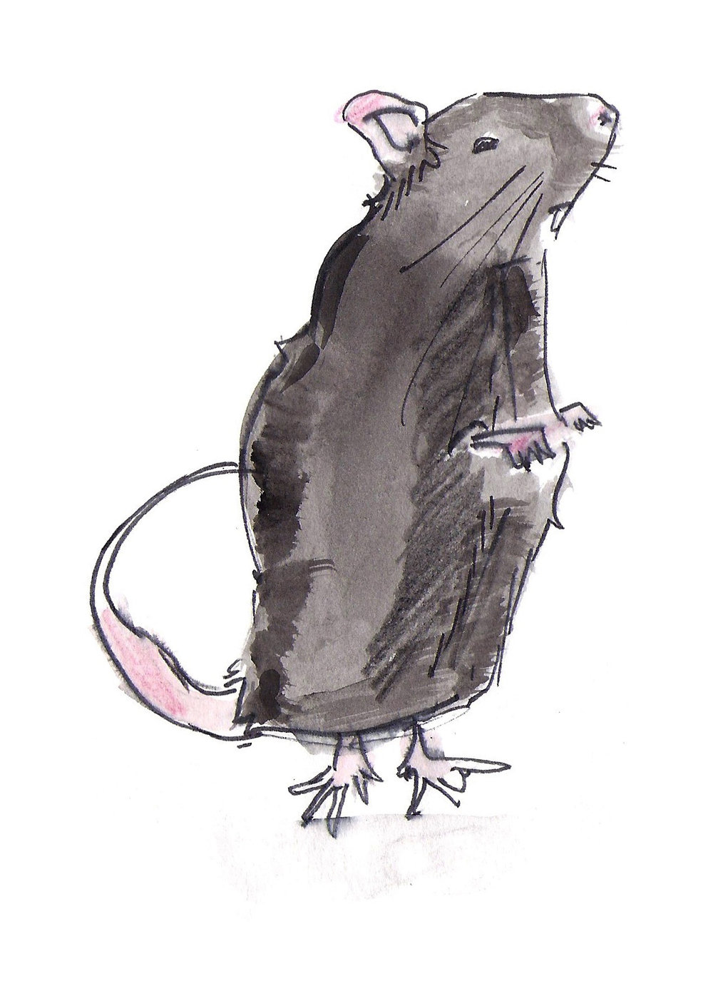 Zwarte rat