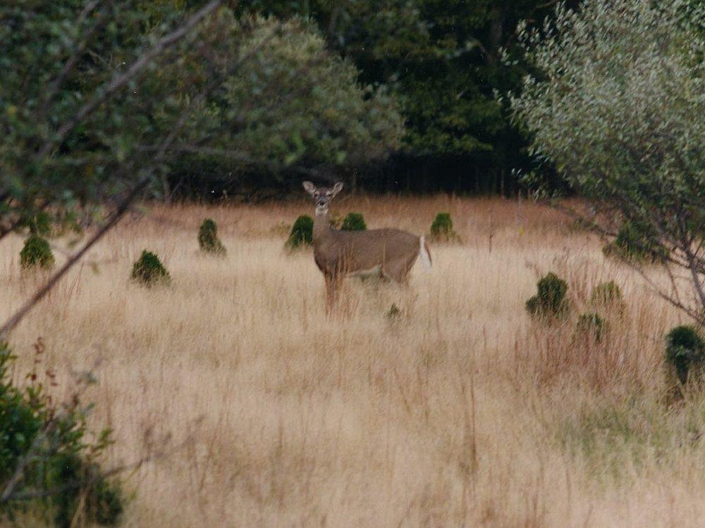 Deer in woods3x4.JPG