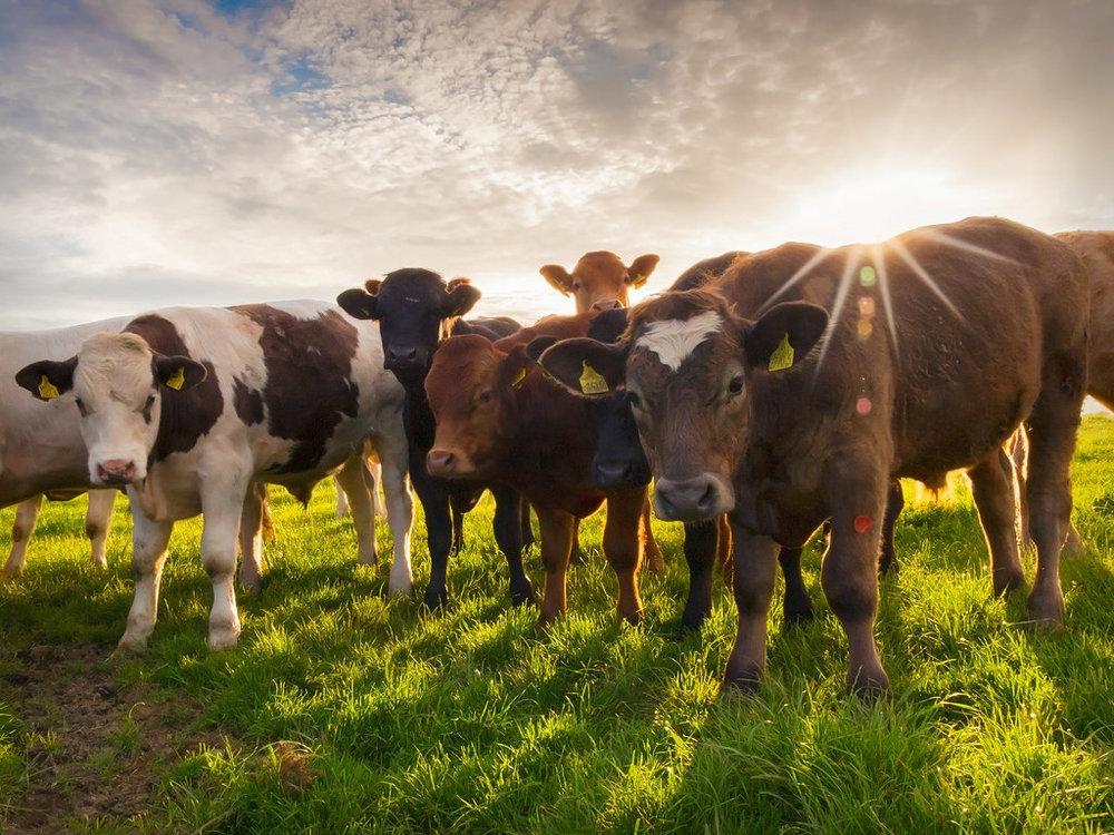 861488_cattle-wallpaper.jpg