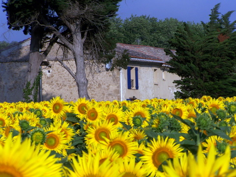 Sunflowers 1.jpg