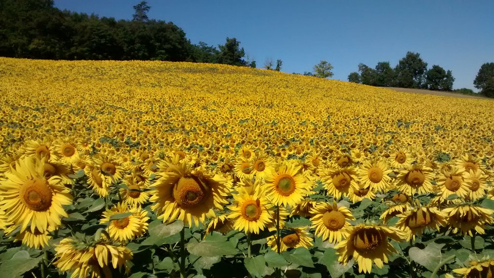 Sunflowers 2.jpg