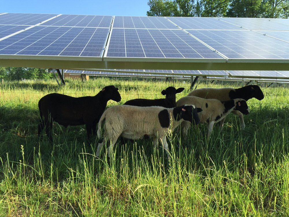 Solar Farms - Learn more about how we use sheep for ground maintenance.