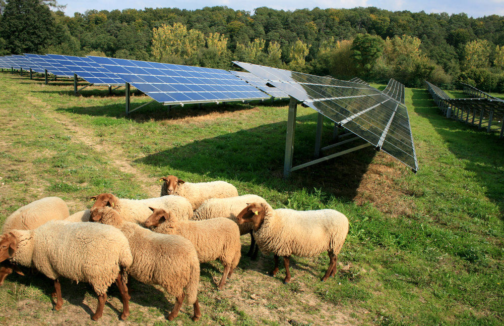 Sustainable Grounds Maintenance   For Solar Farms    Learn More