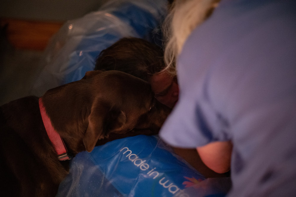 A chocolate lab peeks his head into a birth pool after a baby was born.