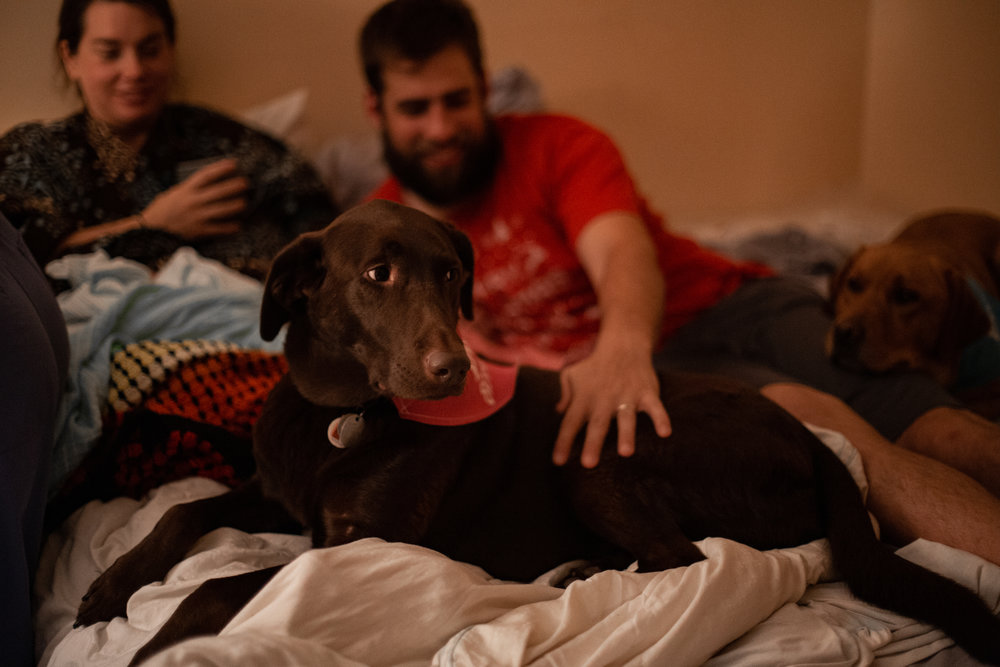Dogs sit on the bed immediately after a homebirth.
