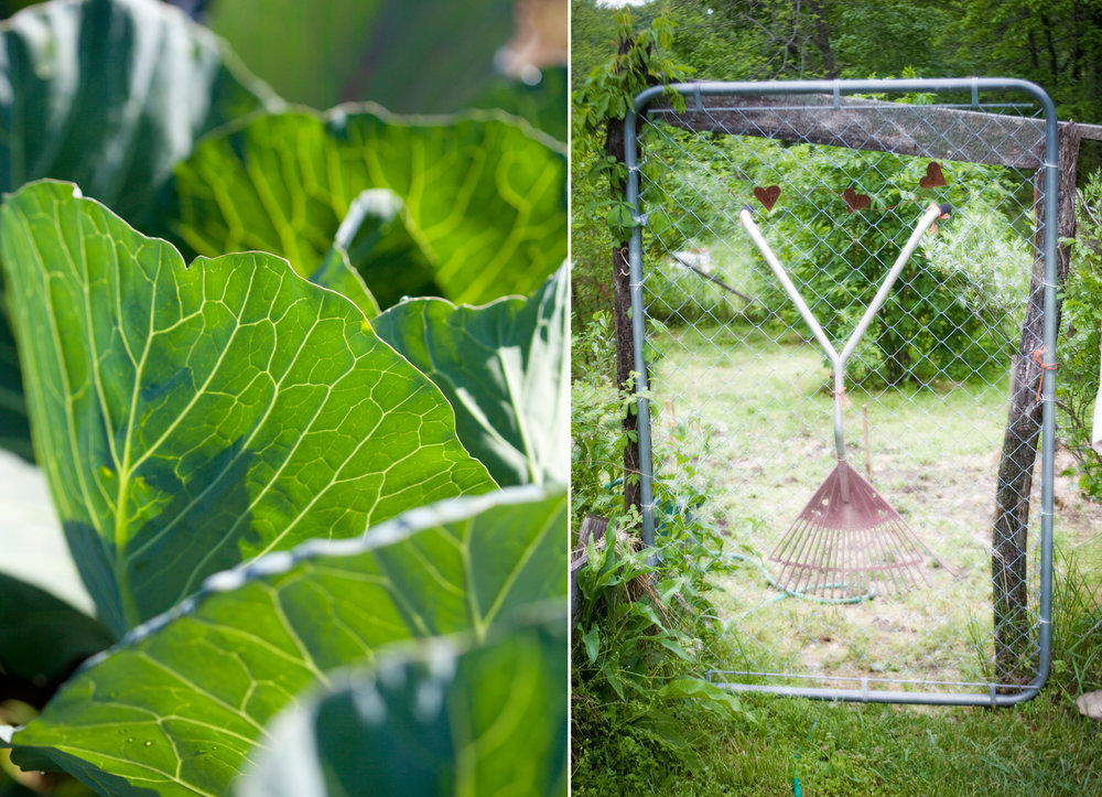 farm photography garden gate cabbage