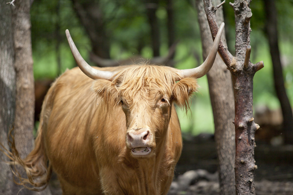 farm photography organic long horned cow