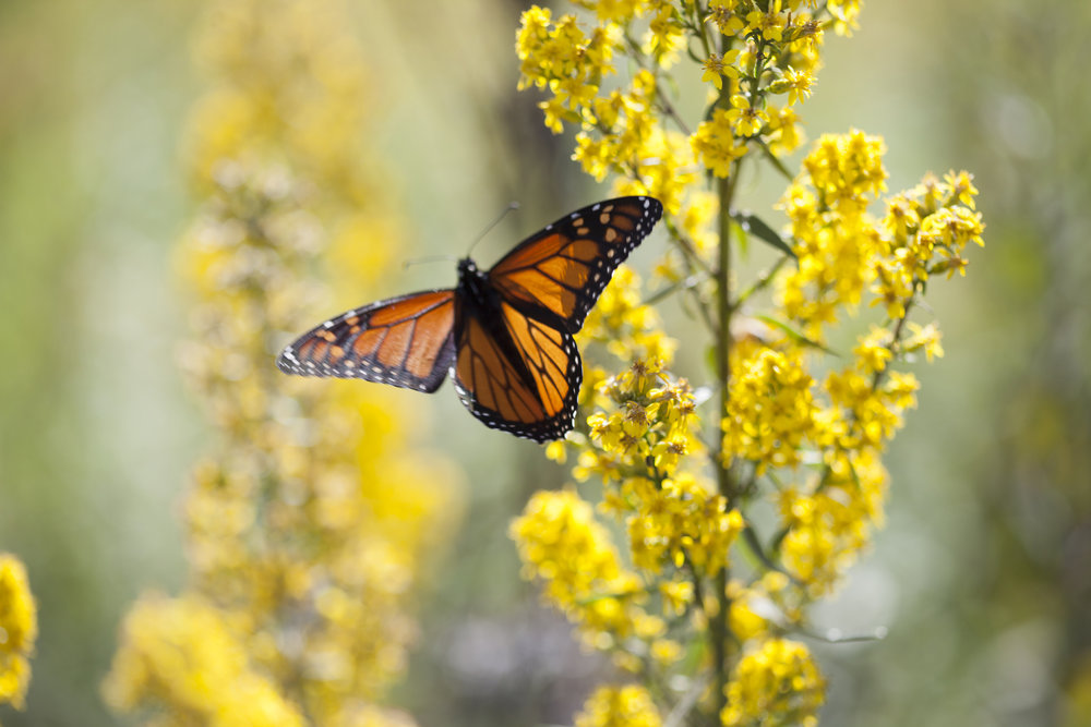 nature photography monarch prairie