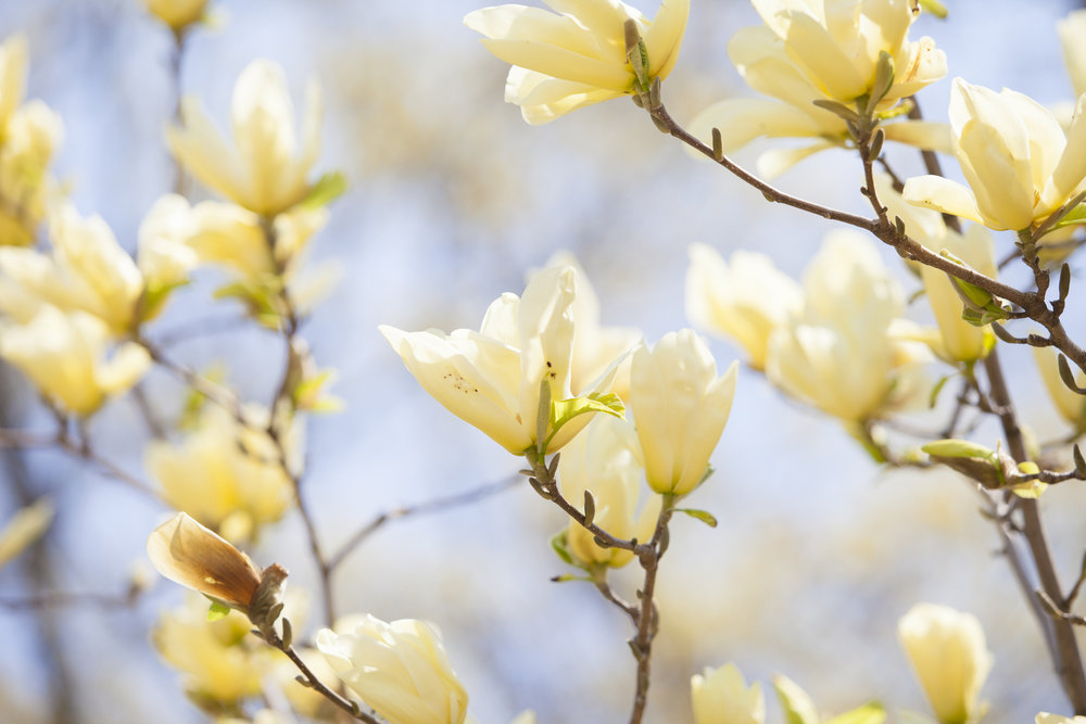 nature photography magnolia tree