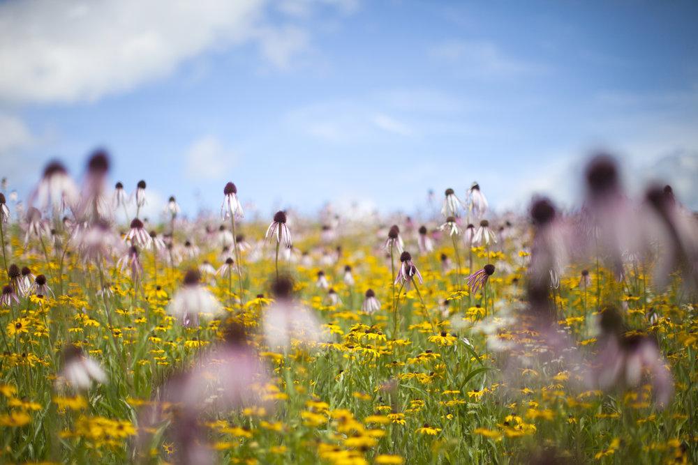 nature photography prairie coneflower