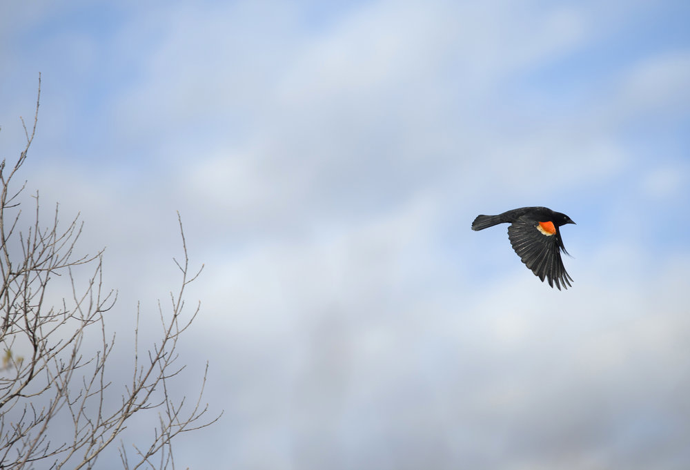 red winged blackbird nature photography