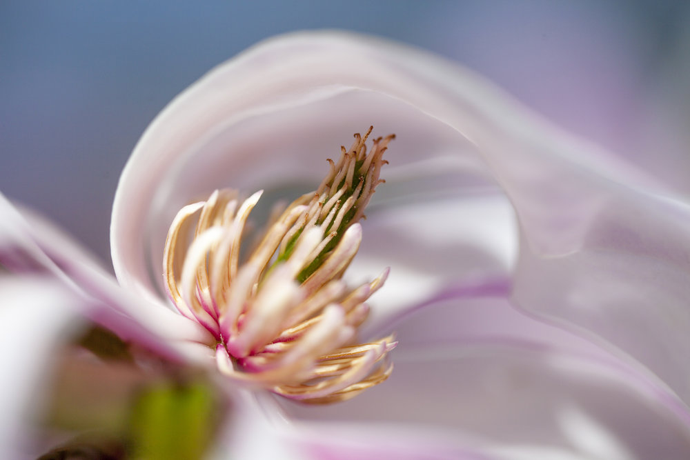 magnolia flower nature photography