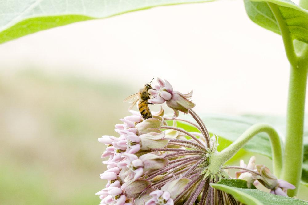 milkweed honey bee nature photography